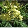acacia-mearnsii plant